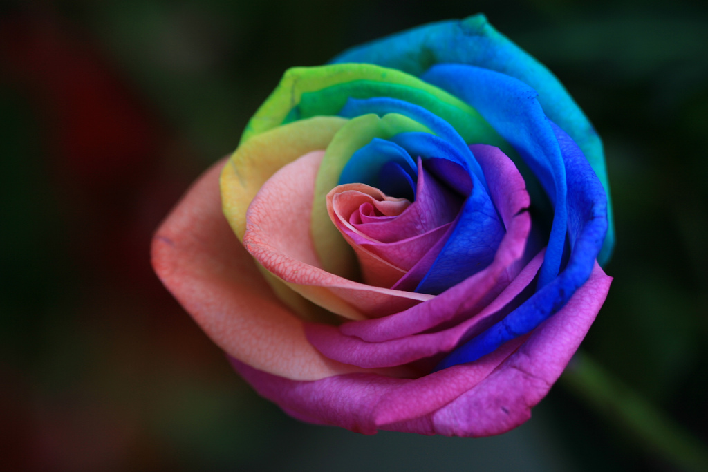 Rainbow Roses Are Extra Special Flowers For The Extra Special People ...
