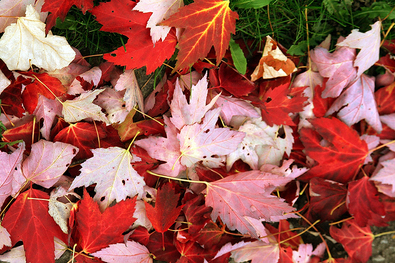 colorful-red-leaves-by-ilkerender.jpg