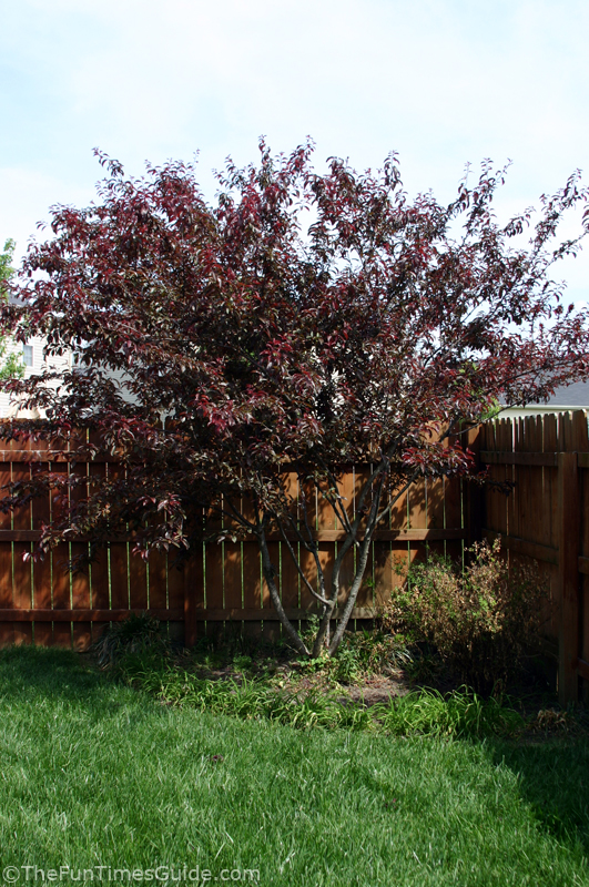 My Experience Planting Trees Japanese Maple Oriental