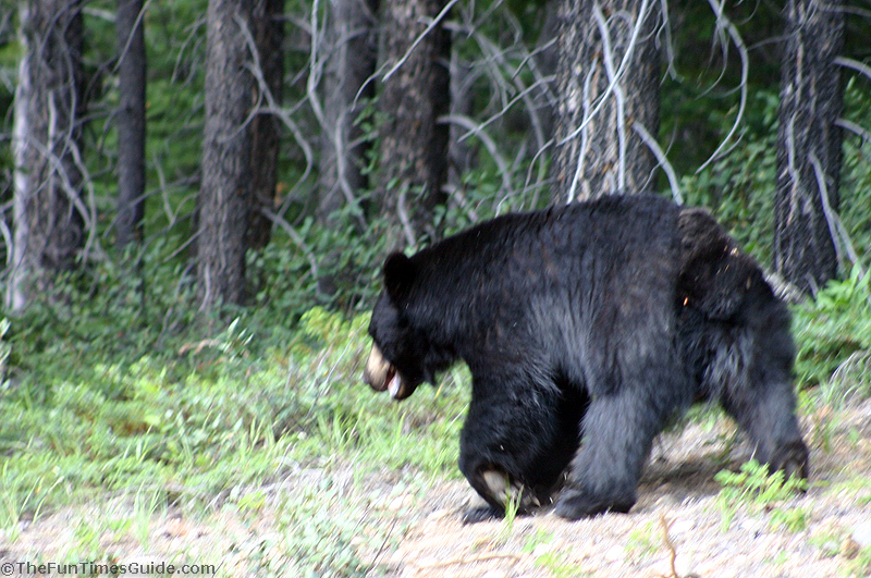 Wildlife We Saw In The Canadian Rockies The Travel Guide