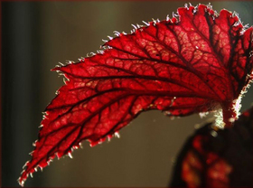 red-leaf-suncatcher-by-withrow.jpg