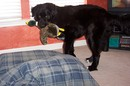 Our black lab - golden retriever mix duck hunting... indoors.