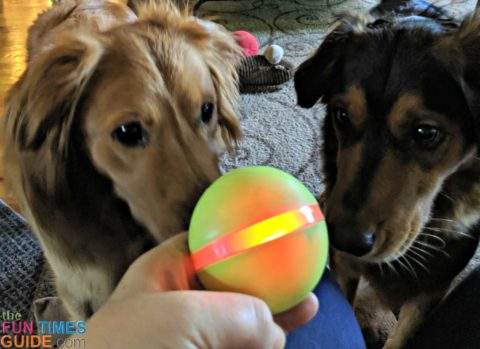 My dogs are always eager to play with the Wicked Ball again.
