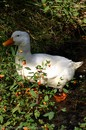 A duck picture.
