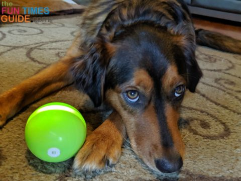 My dog loves her Wicked Ball - she'll share with her brother when she has to, but she prefers to keep the ball all to herself!